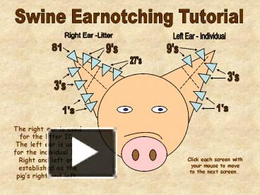 ppt swine earnotching tutorial powerpoint presentation free to view id 23e6e0 owe5o