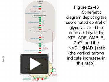 Ppt figure 22 48 schematic diagram depicting the coordinated ppt figure 22 48 schematic diagram depicting the coordinated control of glycolysis and the citric acid cycle by atp adp amp pi ca2 ccuart Image collections