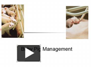 PPT – Baby Pig Management PowerPoint presentation | free to